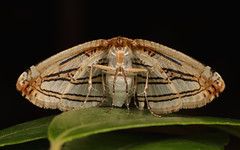 Leaf Moth (Thyrididae), unidentified (John Horstman (itchydogimages, SINOBUG)) Tags: insect macro china yunnan itchydogimages sinobug entomology black canon moth lepidoptera thyrididae fbipm explore topf25 topf50