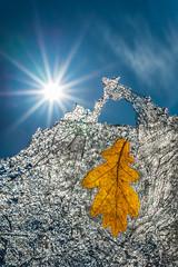 Frozen autumn memories (Tore Thiis Fjeld) Tags: frozen memories leaf oak ice sun sunstar close details sky encapsulated nikon d800 sigma50mmf14dghsmart outdoors norway westernnorway etne seaice backlight light spring
