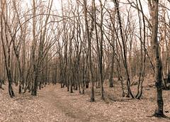 WALD (Carlos Lacano) Tags: forest bw sepia dernau germany canon m6 carlos lacano