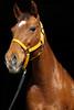 Sugar (Role Bigler) Tags: canoneos5dsr horse pferd portrait quarterhorse sugar ef1885mm portraitfoahorse western