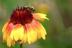 _DSC3009 (@Katerina Log) Tags: flower nature natura depthoffield bokeh daylight outdoor katerinalog insect garden bee blossom colour closeup macro sonyilce6500 18105f4 daisy