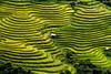 Viet Nam terraced rice fields (trai_thang1211) Tags: ricefield fields field argriculture vietnam landscape northwest