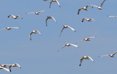 a lmn white ibis DSC_0020 (2) (eustatic) Tags: basa wildlife grn lmn