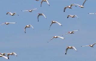 a lmn white ibis DSC_0020 (2)