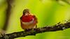 Allen's Hummingbird in the shade (Bob Gunderson) Tags: allenshummingbird birds california gearyand36th hummingbirds northerncalifornia sanfrancisco selasphorussasin coth5