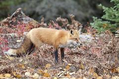 Fall fox (Seventh day photography.ca) Tags: redfox fox animal mammal wildanimal wildlife nature predator ontario canada chrismacdonald seventhdayphotography fall autumn forest