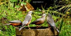 IMG_0658 Chestnut-tailed Starling (Sturnus malabaricus) (vlupadya) Tags: greatnature aves fauna bird animal indianbirds chestnuttailed starling sturnus kundapura karnataka