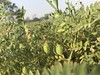 Gram (Shashi Shah) Tags: chickpea field cultivated 2015 fabales faboideae farm floweringplant food horizontal legumefamily nopeople outdoors photography seed vegetable sandeshbhojpur shashi