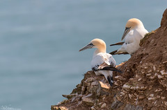 Gannets ... Sitting (Steve (Hooky) Waddingham) Tags: animal bird british sea summer spring nature countryside coast cliffs fish fishing bempton photography wild wildlife