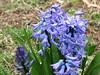 Hyacinths (AmyWoodward) Tags: hyacinth fantasticflower