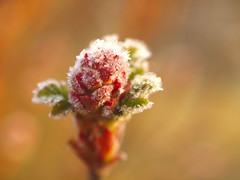 KNOSPE_3252856 (hans 1960) Tags: spring frühling frost cold kalt eis ice kristalle bokeh morning red rot green farben outdoor nature natur macro