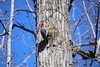 Red Bellied Woodpecker on a Spring Day at Curtis Park (Sunday March 25, 2018 - Saline, Michigan) (cseeman) Tags: saline michigan curtispark park spring curtispark03252018 nature wildlife birds woodpeckers trees redbelliedwoodpecker