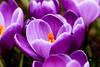 The Orange Centrepiece! (Jay Bees Pics) Tags: macro spring flowers crocus croci purple orange nature garden calver derbyshire england 2018 ngc npc