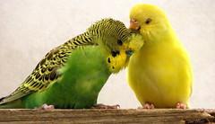Ahhhhhhh......THAT'S THE SPOT (Lani Elliott) Tags: nature naturephotography budgie pet bird birds green yellow aviary birdaviary pets feathers beautiful superb