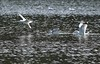 Landing zone (mpalmer934) Tags: lake moraine state park gulls ripples waves outdoor scenery spring