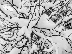 Snow Tree (WestMaue) Tags: black blackandwhite white branches cold frozen ice nature naturephotography plant plants snow trees tree winter