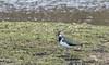 9Q6A8189 (2) (Alinbidford) Tags: alancurtis alinbidford brandonmarsh lapwing nature wildbirds wildlife