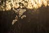 Winterpflanze / Winter Plant (jkiter) Tags: ruhrgebiet natur deutschland zechewaltroo pflanze gegenlicht waltrop germany nature backlight frontlighting plant
