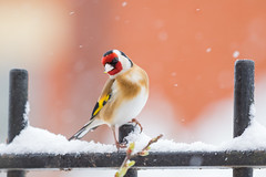 Goldfinch in Snow Storm (www.andystuthridgenatureimages.co.uk) Tags: goldfinch garden snow snowing snowstorm winter finch perch fence