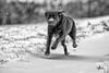 snow is back (uwe.kast) Tags: labrador labradorretriever labradorredriver hund haustier bichou dog schnee snow canon canon50d tier ef70200mm