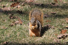 Squirrels In Ann Arbor at the University of Michigan on a Sunny Late Winter's Day (March 19th, 2018) (cseeman) Tags: gobluesquirrels squirrels annarbor michigan animal campus universityofmichigan umsquirrels03192018 winter eating peanut marchumsquirrel bright sunny