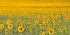 Sunflowers (poludziber1) Tags: travel sunflowers green landscape marche italia italy yellow flowers
