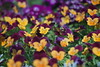 RIC06020 (rickytanghkg) Tags: hongkong flowershow victoriapark meyertrioplanredv75mmf35 75mm flowers sony a7ii sonya7ii