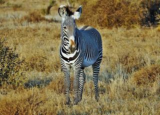Grevy's Zebra (Equus grevyi)