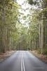 Spotted Gums (Adam Dimech) Tags: corymbiamaculata eucalyptus gum gumtree hhighway road nationalpark mimosarocks nelson nsw newsouthwales australia