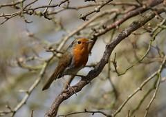 DSC02712 (simonbalk523) Tags: photography sony tamron wildlife birds nature warnham british