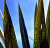 Palm Leaves (pmorris73) Tags: arboretum pennstateuniversity statecollege pennsylvania century 2cee 3cee 4cee 5cee 6cee 7cee 8cee