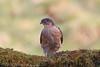 Sparrowhawk - Male (Dougie Edmond) Tags: ringford scotland unitedkingdom gb hawk rapror bird birds nature wildlife hide