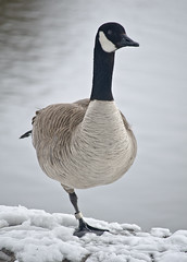 Canada Goose (jeffyphotos) Tags: guelphontario speedriver canadagoose snowstorm
