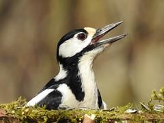 Great Spotted Woodpecker ♀ (Dendrocopos major) (eerokiuru) Tags: greatspottedwoodpecker dendrocoposmajor buntspecht suurkirjurähn woodpecker bird p900 nikoncoolpixp900
