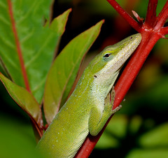 Green anole (justkim1106) Tags: anole lizard texaslizard reptile smallreptile texaswildlife gardenwildlife nature bokeh naturebokeh animal