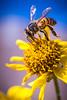 0407 DSC00240x (JRmanNn) Tags: bee flower pollen lasvegas nature