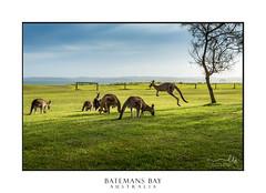 Kangaroos in afternoon sunlight (sugarbellaleah) Tags: kangaroo sunlight grass park beach batemansbay australia wildlife native nature fauna marsupial eating ocean coast jumping hopping dappled sunny