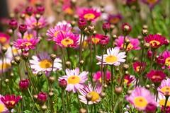 garden flowers, Los Gatos, CA, 20180407-102.jpg (maholyoak) Tags: losgatos california santaclaracounty flowers garden ca unitedstates us