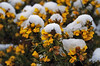 Wintry Flowers (eric robb niven) Tags: ericrobbniven scotland dundee dunkeld snow flowers winterspring