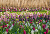 The Smell of Spring is in the Air (marypink) Tags: parcokeukenhof olanda thenetherlands holland flowers tulips spring primavera lisse bollenstreek nikond800 70300mmf456