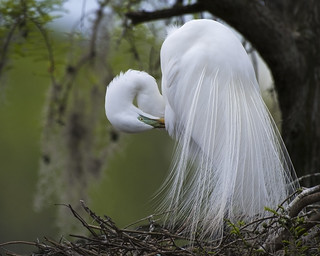 Prettiest Time of the Year!  Great Egret