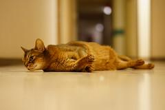 On the floor (DizzieMizzieLizzie) Tags: floor abyssinian aby lizzie dizziemizzielizzie portrait cat feline gato gatto katt katze kot meow pisica sony neko gatos chat a6500 zeiss fe 55mm f18 za ilce6500 ilce sel55f18z sonnar 2018 bokeh