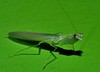 WHAT IS WORST BIT OF SCARED PREY? P1230957 (Steve & Alison1) Tags: mantodea dragon mantis airlie beach rainforest tropidomantis sp iridopterygidae 38mm long kongobatha diademata