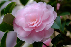 Camélia (jpto_55) Tags: fleur camélia rose macro boheh xe1 fuji fujifilm omlens om50mmf2macro hautegaronne france ngc