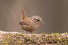 Wren 500_9160.jpg (Mobile Lynn) Tags: wren birds nature bird fauna oscines passeri passeriformes songbird songbirds wildlife
