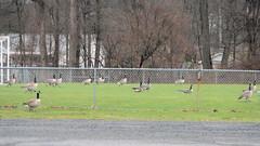 Fowling the Soccer Field (blazer8696) Tags: 2018 ct connecticut danbury ecw millplain t2018 usa unitedstates anatidae anseriformes bracan branta brantacanadensis canada canadagoose canadensis cang dscn3009 goose
