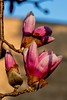 2017 Tree Flower (DrLensCap) Tags: tree flower north park village nature center chicago illinois il robert kramer