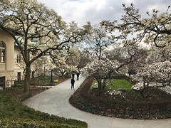 Finally spring (I like green) Tags: brooklynbotanicgarden spring 2018 magnolia trees flowers blossoms explore newyork usa nyc magnoliaplaza