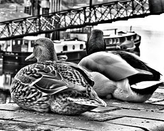 Ducks (Toni Kaarttinen) Tags: uk unitedkingdom gb greatbritain britain london england المملكة المتحدة regneunite vereinigteskönigreich britio reinounido isobritannia royaumeuni egyesültkirályság regnounito イギリス verenigdkoninkrijk wielkabrytania regatulunit storbritannien anglaterra tinglaterra englanti angleerre inghilterra イングランド engeland anglia inglaterra англия londres lontoo londra ロンドン londen londyn лондон bnw blackandwhite hammersmith thames ducks