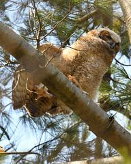 Wing Stretch (Hanzy2012) Tags: nikon d500 afsnikkor500mmf4difedii toronto ontario canada wildlife bird teleconverter tc14eii greathornedowl bubovirginianus owl